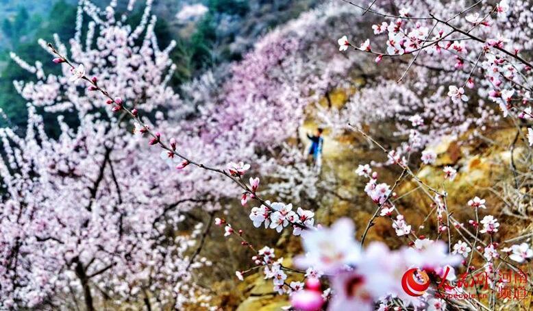 """河南新乡:春暖桃花开 恰似""""桃花源""""        满树和娇烂漫红,万枝丹彩灼春融。每年3月,河南新乡秋沟的桃花布满山野,芬芳吐蕊……"""
