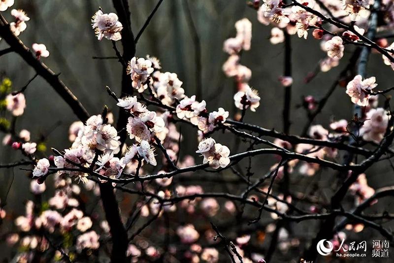 """河南荥阳将上演""""陌上花开"""" 春游体验""""缓缓归"""""""