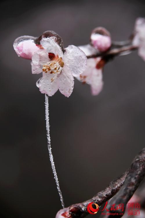 河南新乡 雨后琉璃别样美 三月桃花穿 冰衣