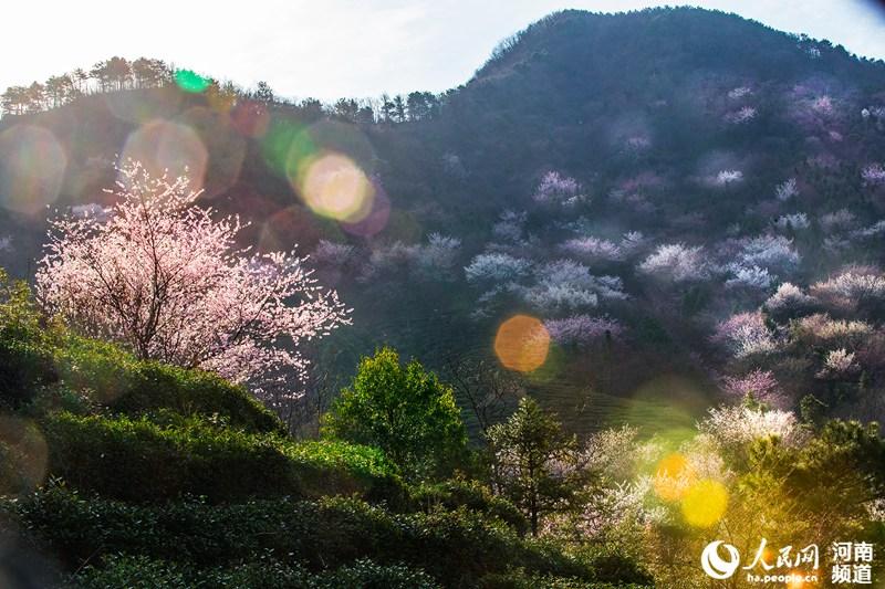 豫南茶产业助力乡村振兴