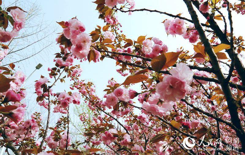 河南鹤壁樱花烂漫 游客纷至沓来