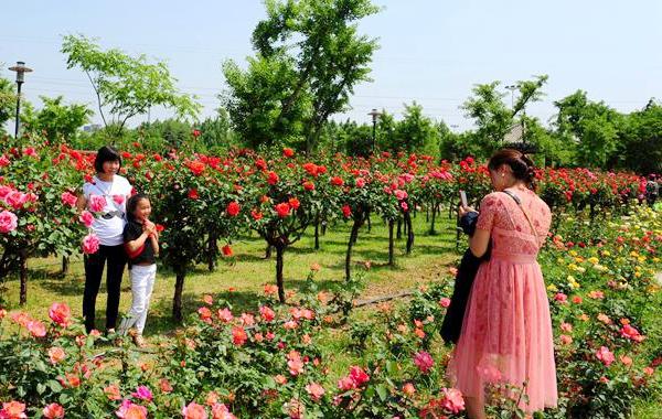 郑州绿博园:初夏月季漫天香
