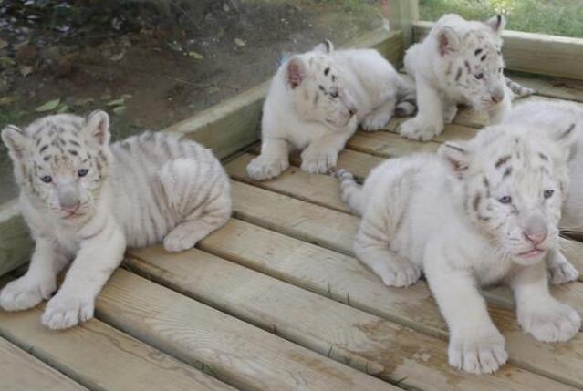 五胞胎雪虎宝宝亮相        五胞胎雪虎宝宝出生于4月2日,四雌一雄,健康状况良好…