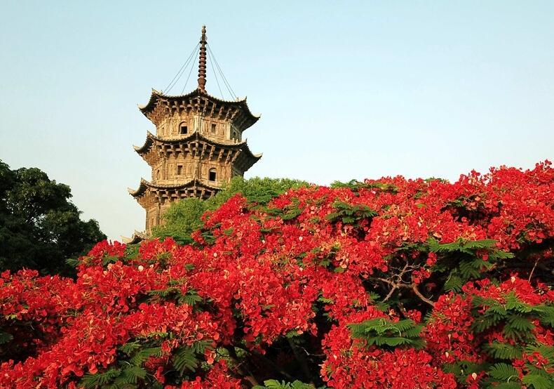 福建泉州:凤凰花开 映红古城
