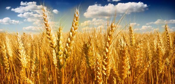 小麦优质优价特征更加明显 近期,新麦收购、猪肉价格反弹、部分地区个别果蔬品种滞销等问题出现……