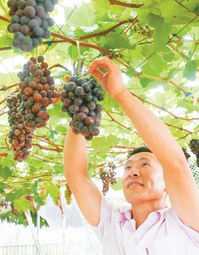 采摘葡萄 农民增收