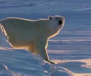 北极熊真的在泡温泉吗        虽然北极圈部分陆地地区最近温度高达32度,但专家表示…