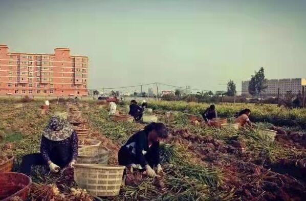 鲁山县张良镇:300亩张良姜基地带动贫困户增收11万元