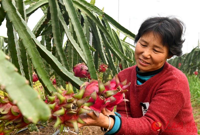 河南夏邑:火龙果、草莓、黄金百香果等立体种植法 助力贫困户脱贫致富