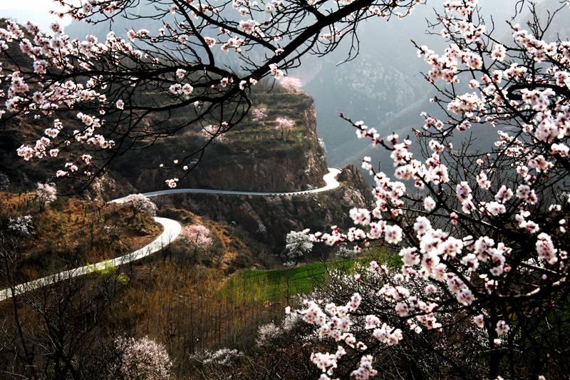 古树开花春意浓 河南新密将于3月16日举办杏花节