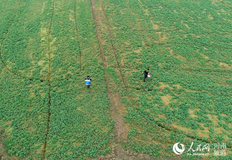 河南信阳光山:人勤春来早 万亩油菜施肥忙