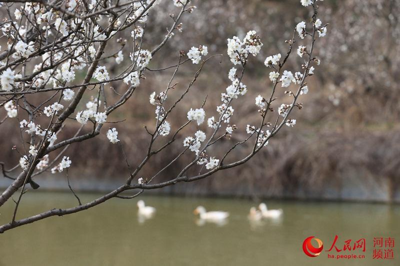 河南信�:春�L才起雪吹香