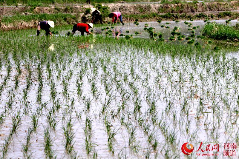 河南光山:立夏时节插秧忙