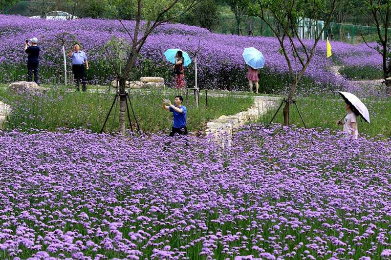 河南光山马鞭草花盛开 成游客旅游观光胜地