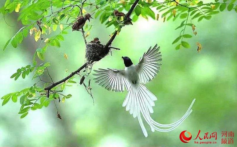 三门峡黄河湿地:寿带鸟仙姿飘逸 摄影师纷至沓来