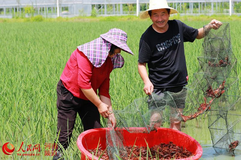 河南光山:发展稻虾共作 带动村民脱贫致富