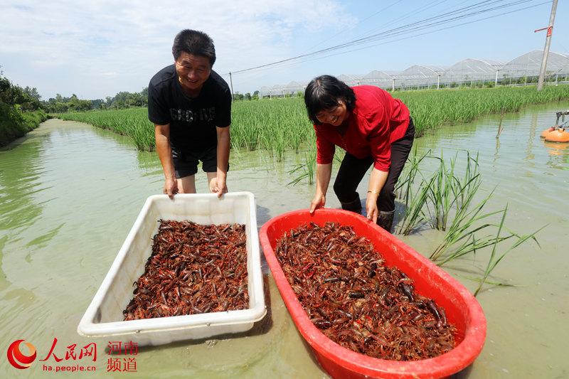 河南光山:水稻田里收虾忙