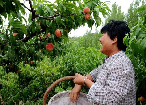 """鲁山县血桃树成村民摇钱的""""幸福树"""" 通过血桃产业甩掉贫困帽"""