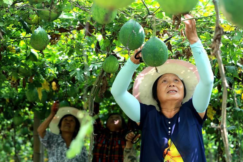 河南光山: 瓜蒌种植效益佳 村民乐开花儿