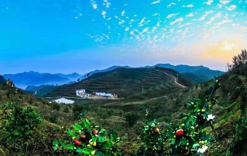 南阳桐柏:茶树绿、油茶香 农民丰收绽笑颜