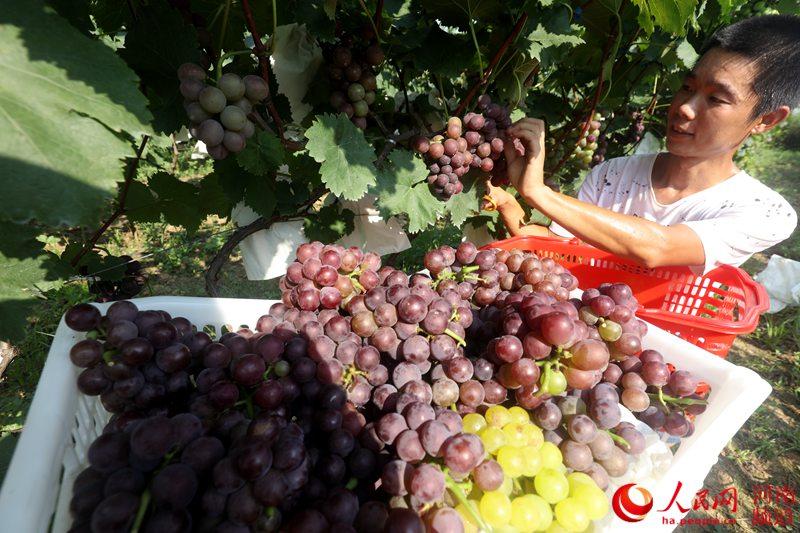 河南光山:青年农民返乡创业 带领村民走上脱贫致富路