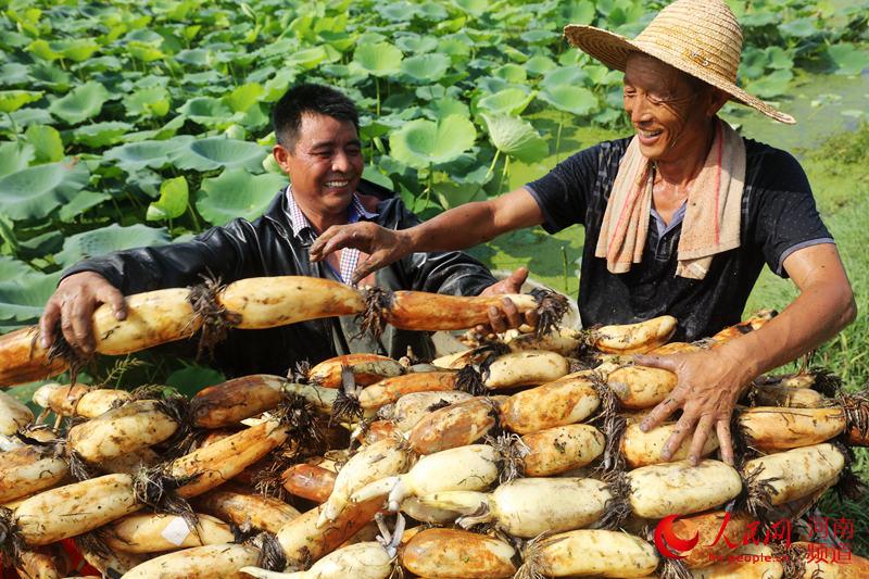 河南光山:珍珠莲藕喜获丰收 带领村民走上脱贫致富路