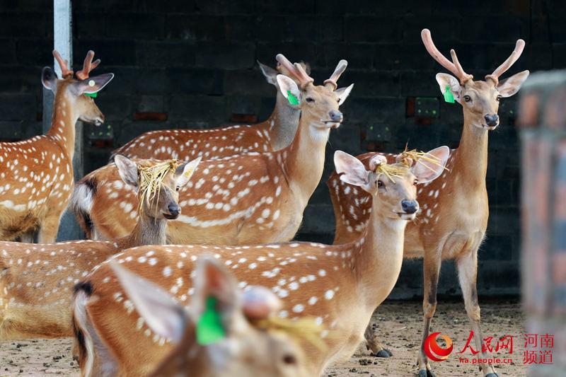 光山:养殖梅花鹿 村民走上致富路