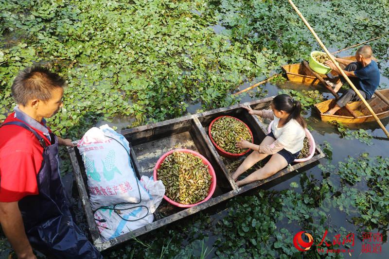 河南光山:菱角满塘获丰收 村民鼓起腰包奔小康