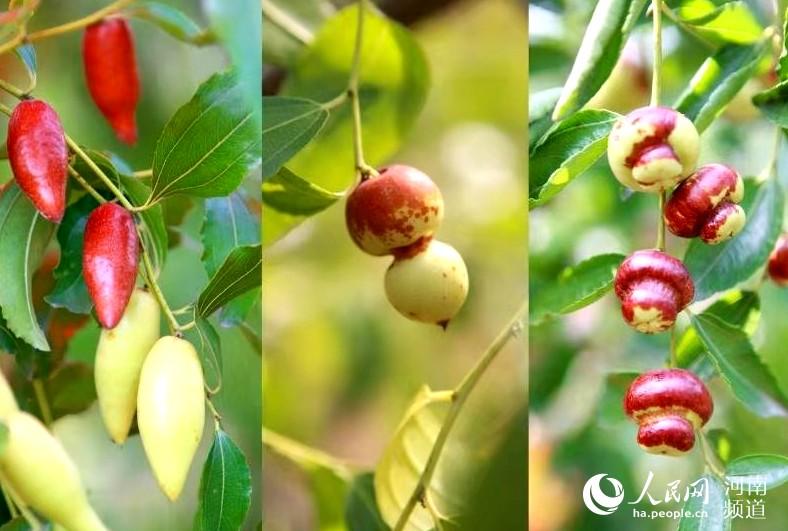 第17届红枣文化节将于9月1日在新郑开幕