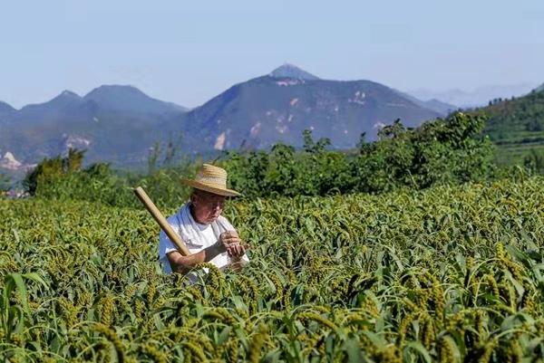 """安阳:""""合作社+农户""""模式发挥带贫作用 助推脱贫攻坚"""