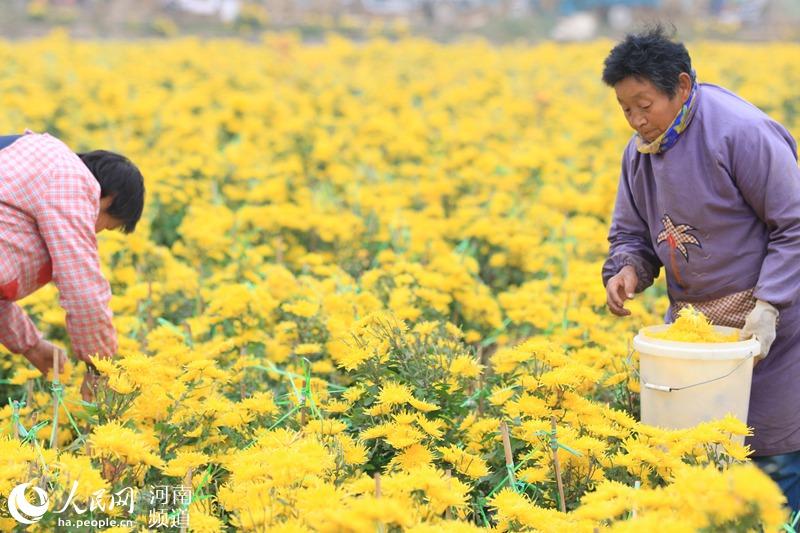河南林州:百亩菊花喜丰收