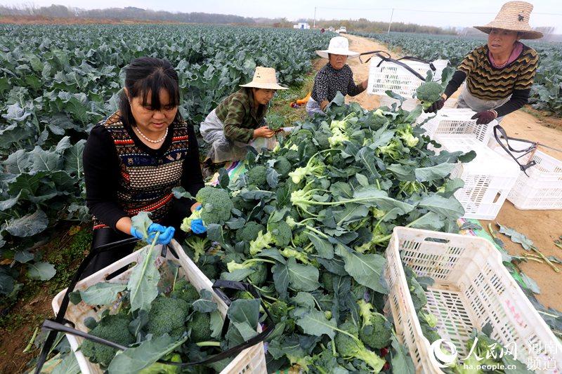 河南光山:特色蔬菜绿了乡村 富了乡亲