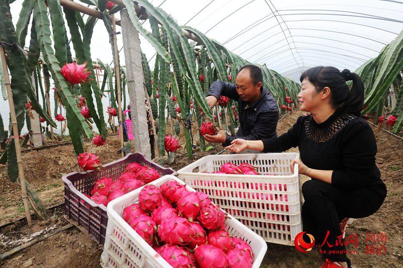 河南光山:返乡创业夫妻种植火龙果富乡亲