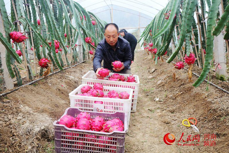 河南光山:返乡创业夫妻栽种火龙果富同乡