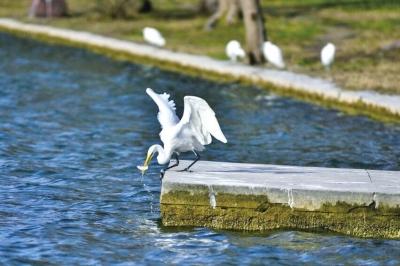 最佳观鸟季到来 黄河小浪底迎来数万候鸟过冬