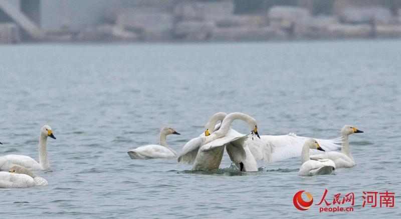 河南商丘:天鹅又约日月湖