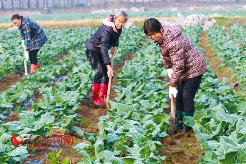 河南光山:農業生產恢復 蔬菜基地春管忙