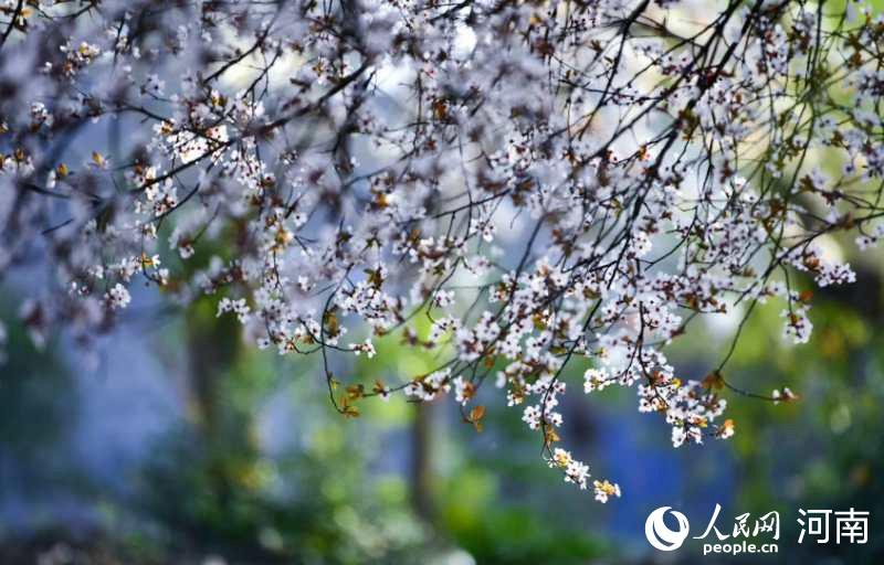 河南桐柏:山花遍地迎春来 宛如一张色彩绚丽的地毯