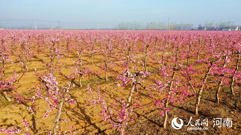 河南鄢陵:3000余亩桃花竞相绽放