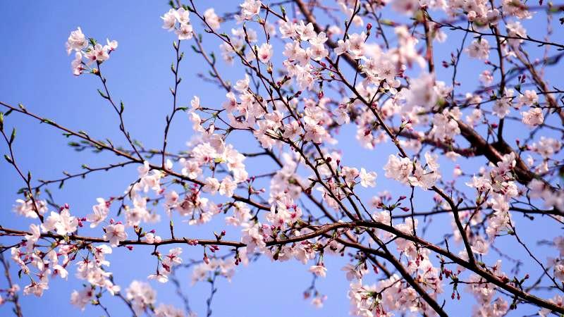 商城:樱花为媒 铺平群众脱贫致富路