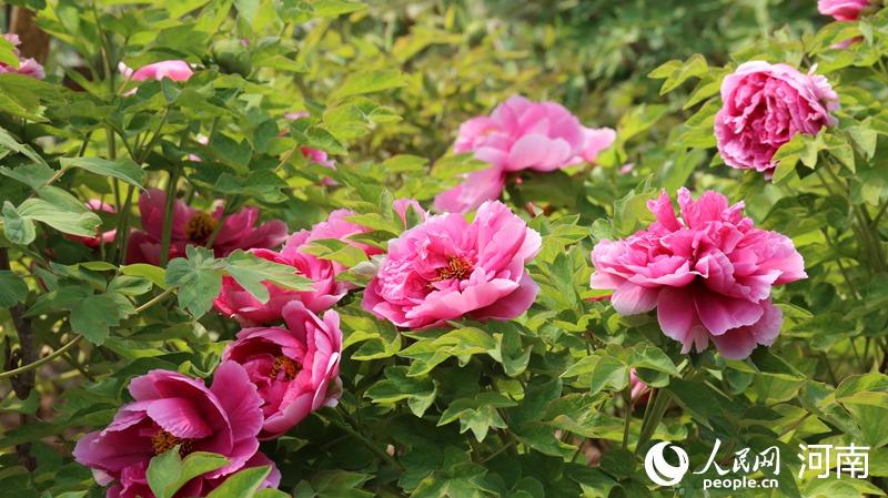 线上赏花更精彩!第三十八届中国洛阳牡丹文化节开幕