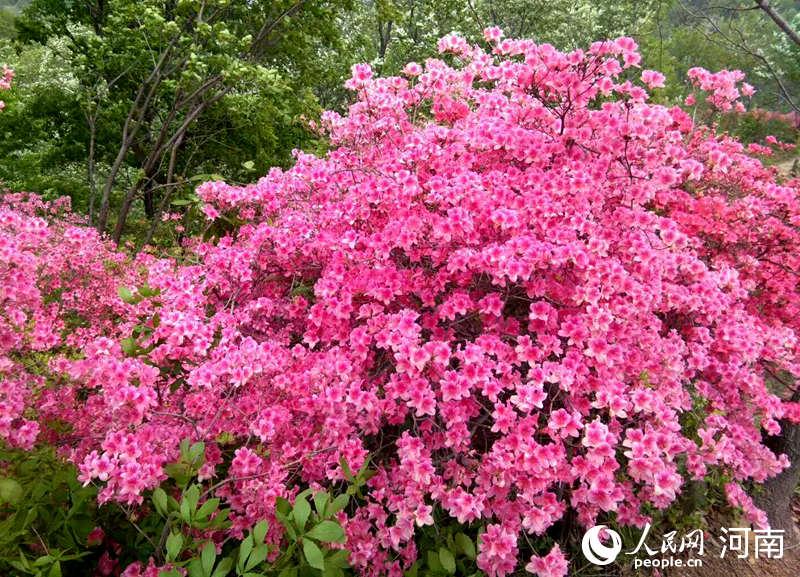 """首届""""鲁山县杜鹃花节""""即将开幕 共赴春日之约"""