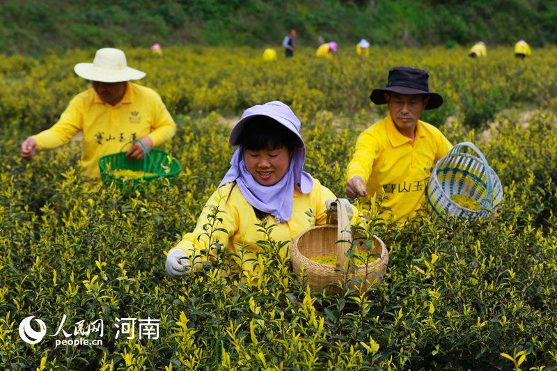 春天喜摘黄金茶 年产值1000多万元