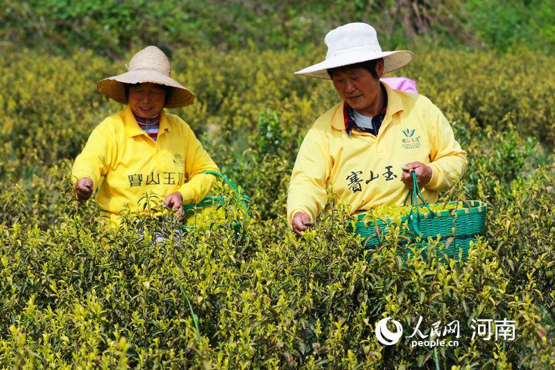 河南光山:黄金茶助力村民脱贫致富