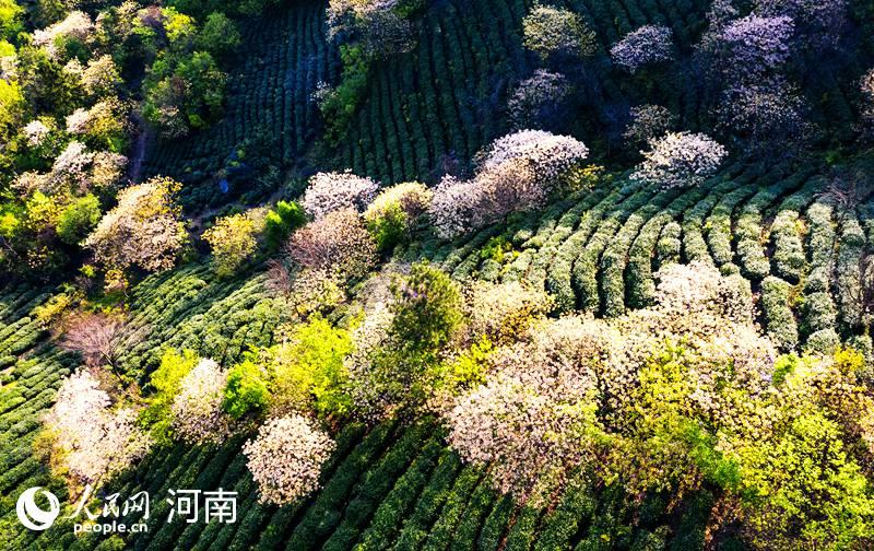 河南商城:助农增收致富 桐花依旧笑春风