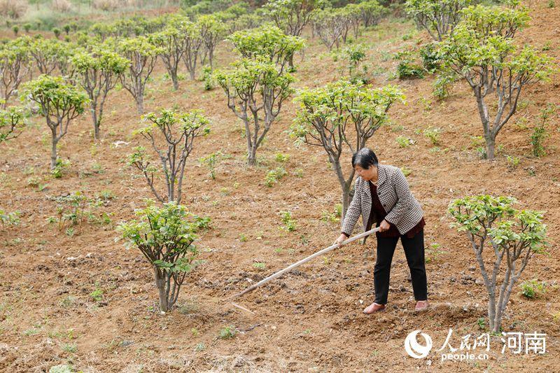 平顶山宝丰:中药种植富农家 吴茱萸200多亩 每亩收益1万多元