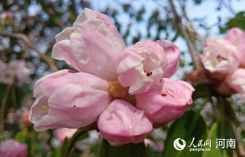 中原第一峰 千年杜鹃王花繁叶茂