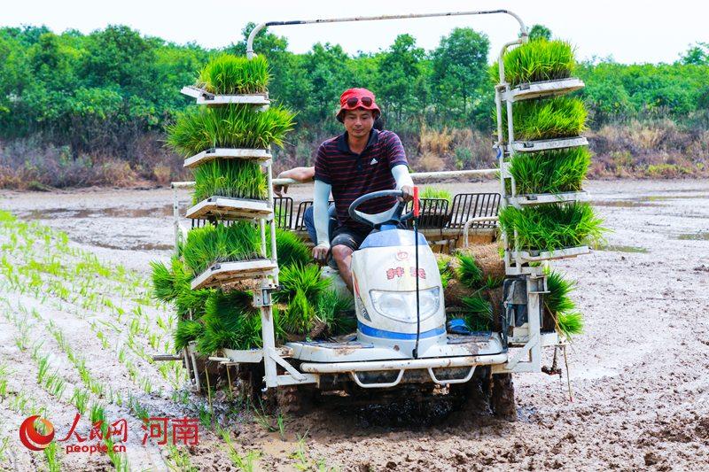 河南光山80余万亩水稻进入插秧期