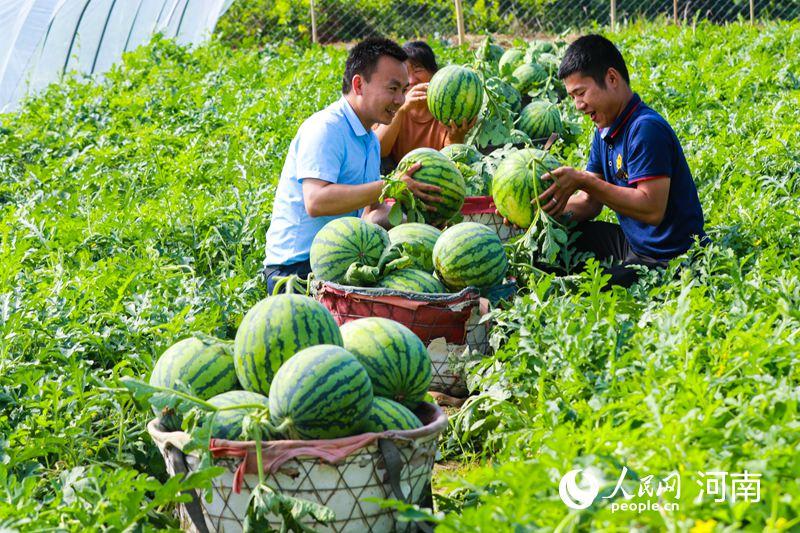 河南光山:三夏时节收瓜忙