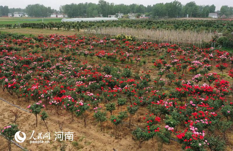 河南宛城:产业扶贫 花开正艳